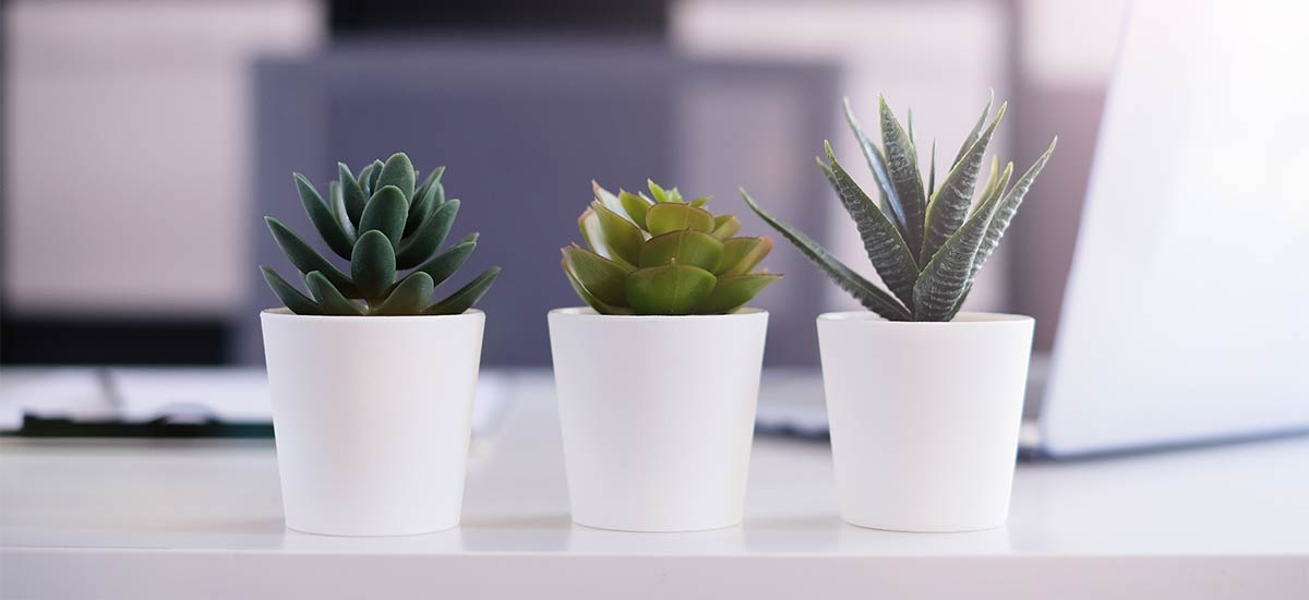close up on 3 succulent plants in white pots